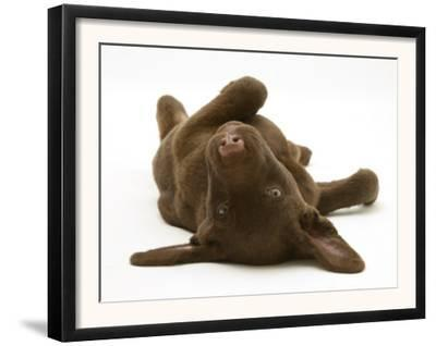 Chesapeake Bay Retriever Dog Pup, Teague, 9 Weeks Old, Rolling on the Ground