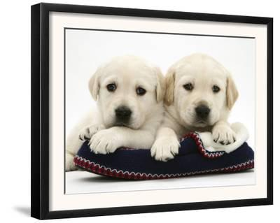 Two Yellow Goldidor Retriever Pups Lying on a Slipper