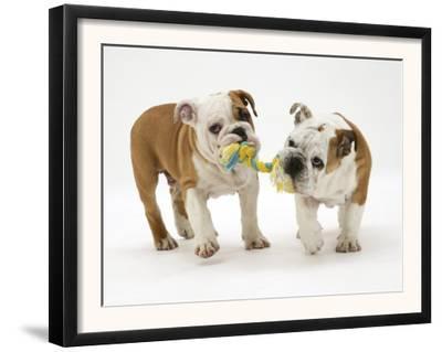 Two Bulldog Pups Carrying a Ragger