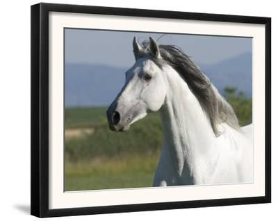 Grey Andalusian Stallion Running in Field, Longmont, Colorado, USA