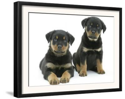 Two Rottweiler Pups, 8 Weeks Old
