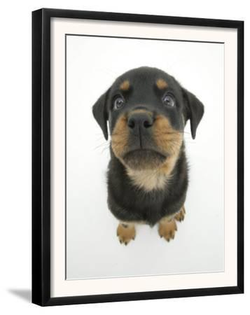 Two Rottweiler Pup, 8 Weeks Old, Sitting Down and Looking Up