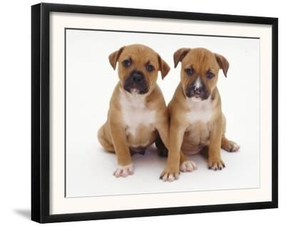 Two Red Staffordshire Bull Terrier Puppies, 6 Weeks Old, Sitting Together
