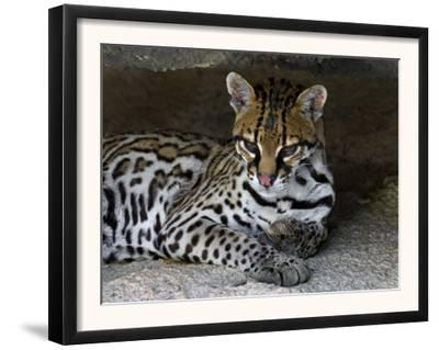 Ocelot Portrait, Resting in the Shade of a Cave. Arizona, USA