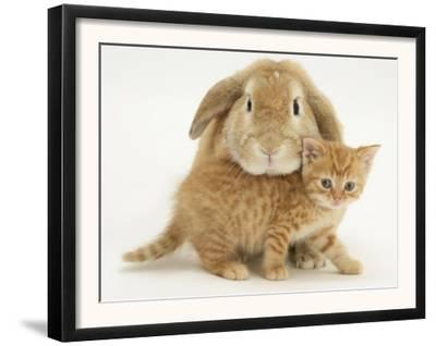 British Shorthair Red Spotted Kitten with Sandy Lop Rabbit