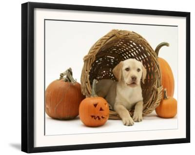 Yellow Labrador Retriever Pup Lying in Wicker Basket and Pumpkins at Halloween