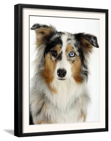 Blue-Merle Australian Shepherd Portrait with Odd Eyes