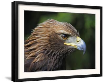Head Portrait of Golden Eagle, France