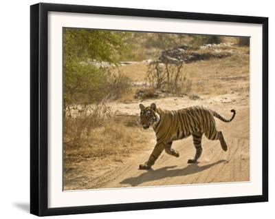 Bengal Tiger Hunting, Ranthambhore Np, Rajasthan, India
