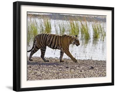 Bengal Tiger Walking by Lake, Ranthambhore Np, Rajasthan, India