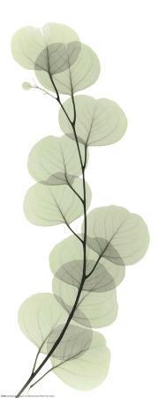 X-Ray Eucalyptus Branch I