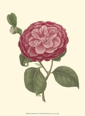 Camellia Blooms IV