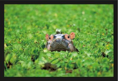 Bio- Hippopotamus