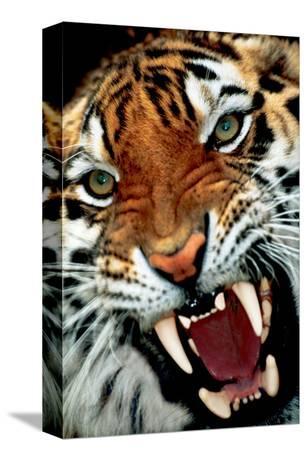 Bengal Tiger Close-Up