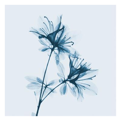Azalea in Blue