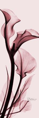 Calla Lily on Pink