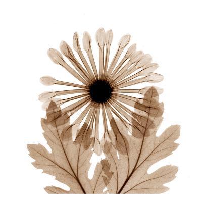 Chrysanthemum in Sienna