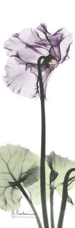 Cyclamen in Purple