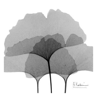 Ginkgo Leaves Black and White