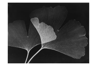 Ginkgo Leaves Close Up on Black
