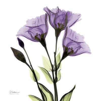 Gentian in Purple
