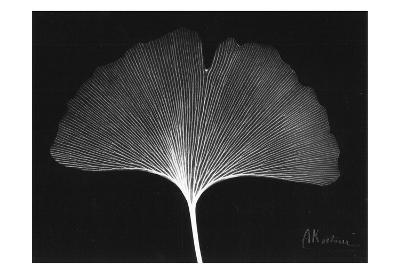 Ginkgo Single Leaf Close Up on Black