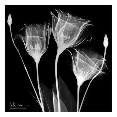 Gentian Trio on Black