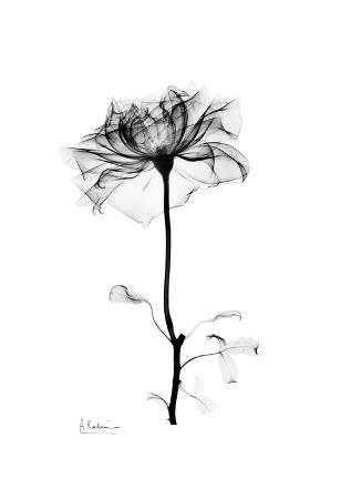 Rose in Bloom in Black and White
