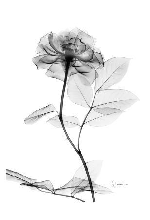 Rose in Full Bloom in Black and White