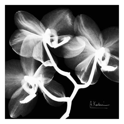 Orchid White on Black