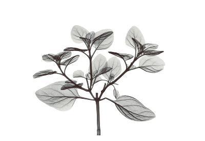 Oregano in Black and White