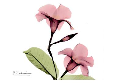 Mandelilla in Color II