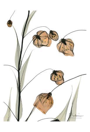 Sandersonia in Bloom