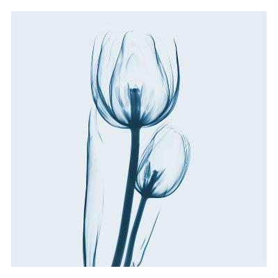 Tulip in Blue