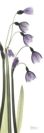 Snow Drop in Lavender