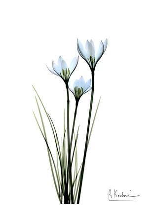 White Rain Lily