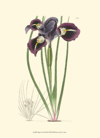 Elegant Iris II
