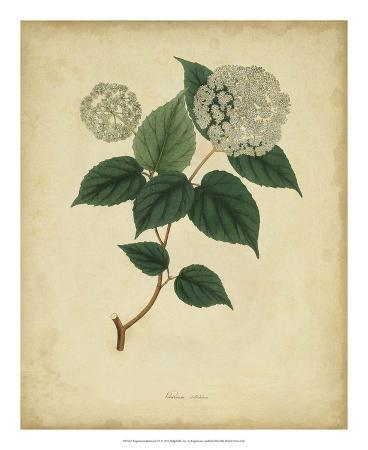 Engelmann Botanical VI