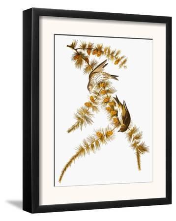 Audubon: Siskin
