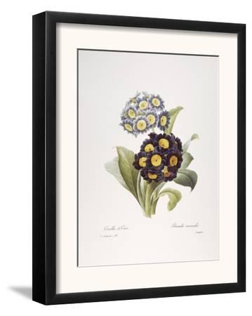 Redoute: Auricula, 1833
