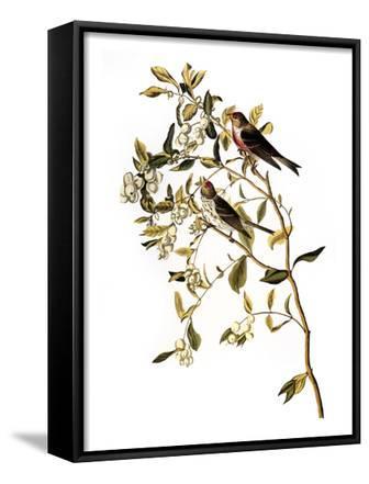 Audubon: Redpoll, 1827