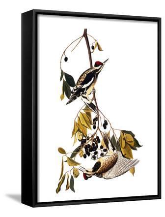 Audubon: Sapsucker, 1827-38
