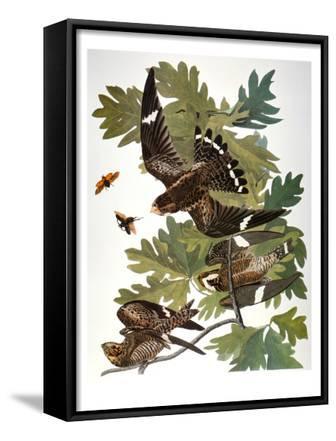 Audubon: Nighthawk