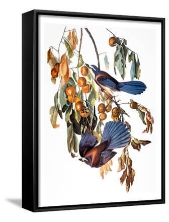 Audubon: Scrub Jay, 1827-38