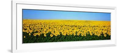 Sunflower Field, North Dakota, USA