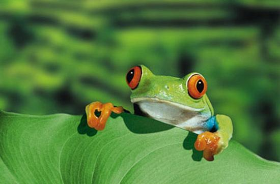 Red Eyed Tree Frog Photo At Allposters Com
