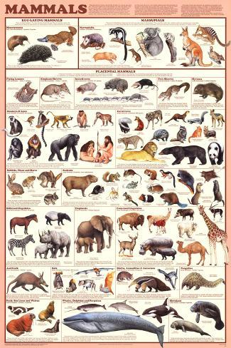 Mammals Laminated Educational Science Teacher Classroom Chart Poster 24x36
