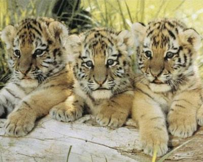 Three Tiger Cubs (On Log) Art Poster Print