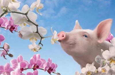Pretty in Pink (Pig & Blossoms) Art Poster Print