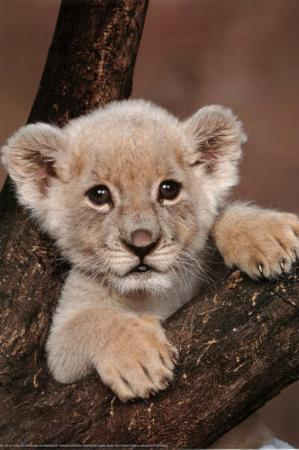 Lion Cub On Branch Art Print Poster Prints At Allposters Com